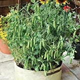 """Heirloom (Open Pollinated) 'Tom Thumb' Dwarf Shelling Pea,excellent for Pots 6-8"""" [30 Seeds]"""