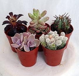 Instant Cactus/Succulent Collection - 5 Plants - 1.75