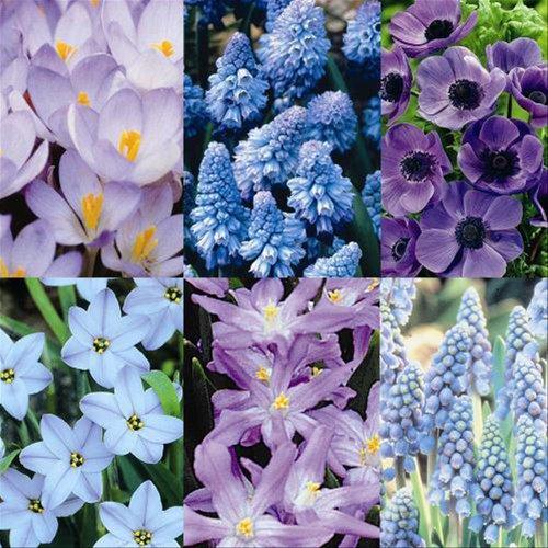 All Blue Spring Garden (100 Bulbs) - 100 Flower Bulbs