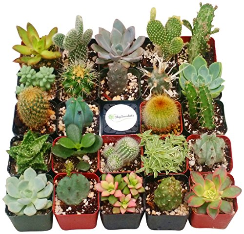 Shop Succulents Cactus and Succulent (Collection of 4)