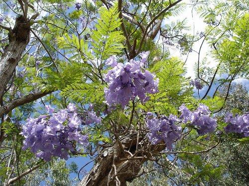 palisanderbaum jacaranda mimosifolia 25 samen blaue bl ten. Black Bedroom Furniture Sets. Home Design Ideas