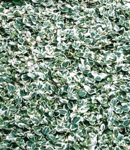 baldur garten wei bunte kriechspindel 39 silver queen 39 1. Black Bedroom Furniture Sets. Home Design Ideas
