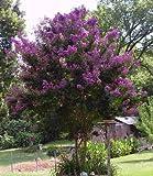 35 PURPLE CREPE MYRTLE Lagerstroemia Flowering Shrub Bush Small Tree Seeds