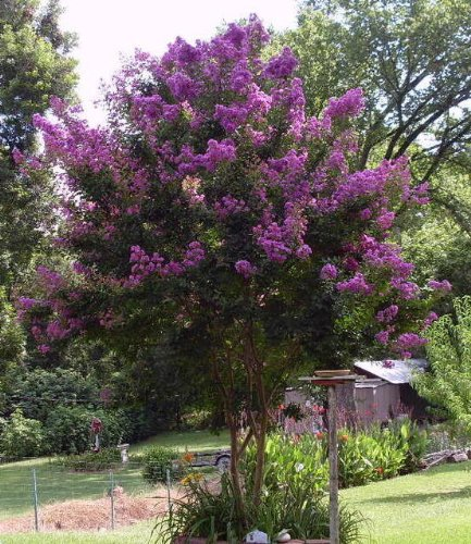35 purple crepe myrtle lagerstroemia flowering shrub bush Small flowering trees