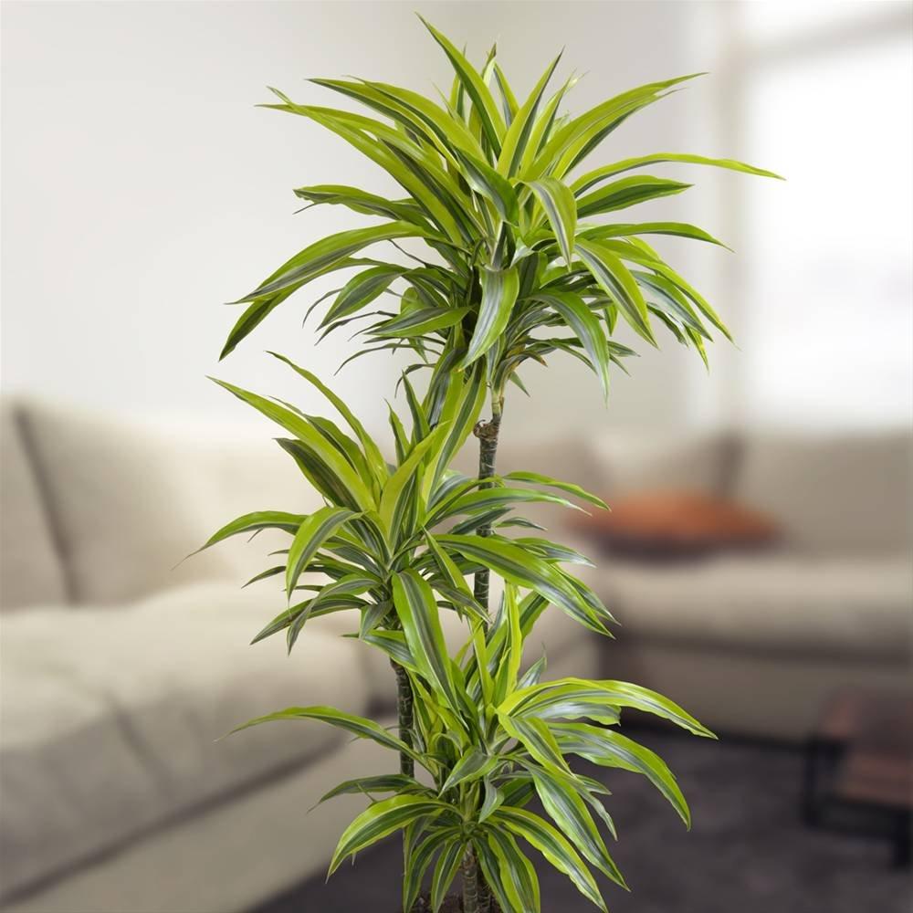 dracaena wie pflege ich sie pflegen schneiden veredeln green24 hilfe pflege bilder. Black Bedroom Furniture Sets. Home Design Ideas