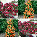 (Combo Of 2 Colors) Floral Treasure Red & Orange Climbing Rose Seeds - Pack Of 20