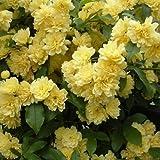 [まとめ植え!]モッコウバラ:黄花3~3.5号ポット3株セット