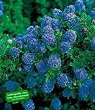 BALDUR-Garten Immergrüne Säckelblume Blauer Ceanothus 'Blue Mound'