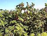 Himbeeren Rot 10+ Samen -Super Süss- *Sehr guter Ertrag*