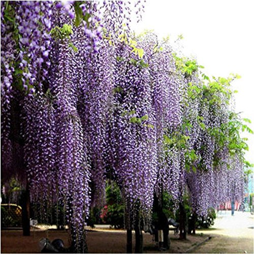 CrazyDeal 20 Pcs Purple adorable nice Flower Fragrant Seeds Fragrant Blooms Chinese Wisteria Vine Tree