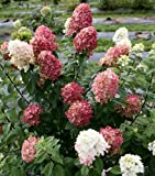 Amazon / Hirts: Trees & Shrubs; Hydrangea: Fire Light TM Hydrangea paniculata - 4 pot - Proven Winners