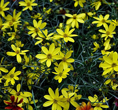 mayo-clinic-flower-of-hope-coreopsis-tickseed-perennial-plant-quart-pot