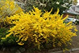 Lynwood Gold Forsythia (2-3 feet tall in full gallon containers) Yellow blooms first of spring