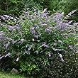 Sommerflieder-Sort. 3 Stck, 12er T. bestehend aus:1*Buddleia davidii 'Empire Blue, 1*Buddleia davidii 'Pink Delight', 1*Buddleia davidii 'Royal Red'