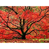 Japanese Red Maple Tree - Live Plant Shipped 2-3 Feet Tall (No California) (Color: Red, Green, Tamaño: 2-3 feet)