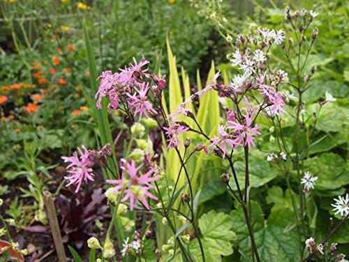 Hardy Perennial / Marginal Pond Plant - Lychnis flos-cuculi 'Terrys Pink' x 50 - 2014 Fresh Seeds