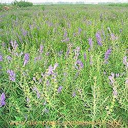 Rea Chinese Scutellaria Seeds 150pcs Herbs Skullcap Sementes Bonsai Huangcen Garden Tree Outdoor Herb