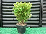 クサツゲ(ヒメツゲ)樹高20cm前後 常緑低木 刈り込みにつよい!