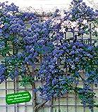 BALDUR-Garten Immergrüne Säckelblume Ceanothus 'Trewithen Blue'