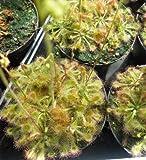 Drosera Rotundifolia 25 Seeds , Sundew Seeds *carnivorous plants-seeds*