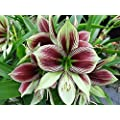 Papilio Butterfly Amaryllis Large Bulb - With Nature BlueTM Plant Food
