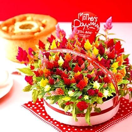 母の日ギフト 花鉢 花とセット 生花(ケイトウ)とシフォンケーキ 人気グルメギフト 花とスイーツセット
