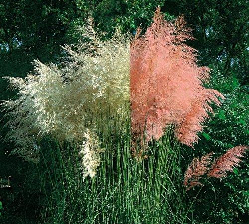 staude pampasgras set bestehend aus je 4 pflanzen rosa und 4 pflanzen wei. Black Bedroom Furniture Sets. Home Design Ideas