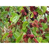 Red Mulberry Tree (Morus Rubra) 1-2 Feet Tall
