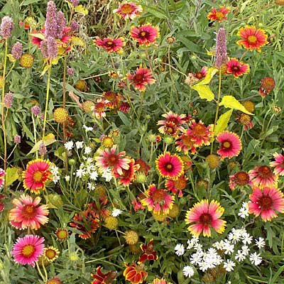 Eastern Xeriscape Wildflower Seed Mix - 5 LBS