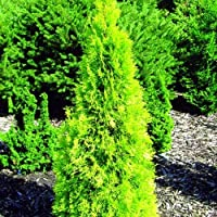 Polar Gold TM Arborvitae - Thuja - Evergreen - Proven Winners - 4
