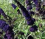 1X 3-4FT LARGE BUDDLEJA BLACK KNIGHT PLANT - BUTTERFLY BUSH SHRUB - 3L