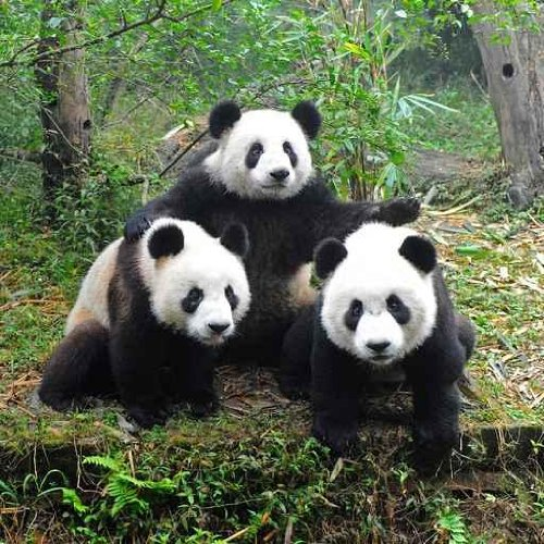 Animal Wall Decals Giant Panda Bear Posing For Camera - 18 Inches X 18 Inches - Peel And Stick Removable Graphic front-768685