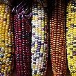 Premier Seeds Direct Heirloom Flint Corn Fiesta Finest Seeds (Pack of 55)