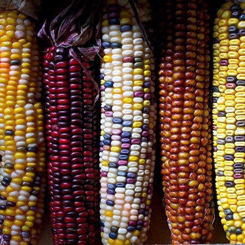 premier-seeds-direct-heirloom-flint-corn-fiesta-finest-seeds-pack-of-55