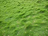 Syed Carpet grass seed (1000 seed pack)