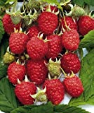 Heritage Red Raspberry Plant - Considered the Best Raspberry