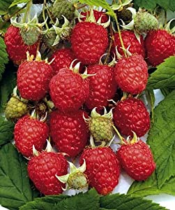 Heritage Red Raspberry Plant - Gallon Pot