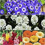 Seedscare India:: Winter Flower Seeds Combo Of Cinenaria, Candytuff, Antirrhinum And Calendula- 4pkts/50+ Seeds...