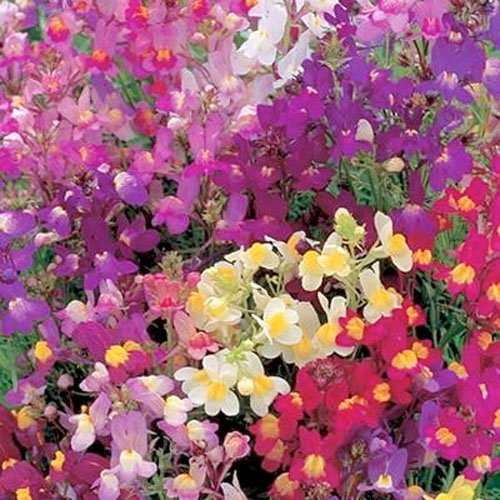 "3,000 Seeds, Snapdragon ""Royal Mixture"" (Linaria maroccana) Seeds By Seed Needs"