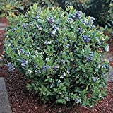 50 Dwarf Top Hat Blueberry Seeds - JDR Seeds