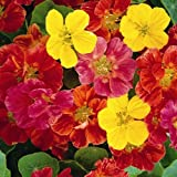 1 X PACK LITTLE GARDENERS CRAZY CREEPER NASTURTIUMS SEEDS HOME GARDEN FLOWERS