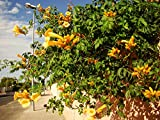 YELLOW TRUMPET VINE Campsis radicans Flava CLIMBER WITH YELLOW TRUMPET FLOWERS