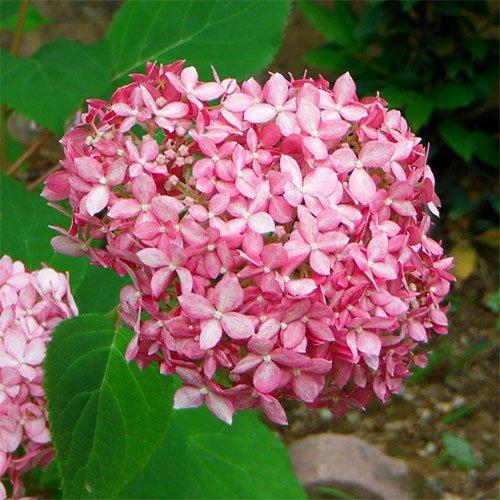 アジサイ:アナベル(ピンク花)3~3.5号ポット[新枝咲きタイプ]