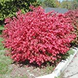 Amazon / Tropical Oasis: Corked burning bush Euonymus alatus BULK 100 seeds
