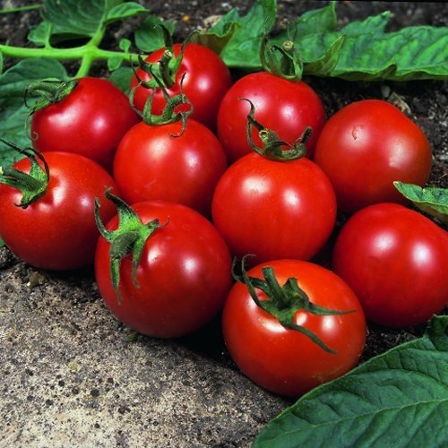 premier-seeds-direct-tomato-alicante-includes-120-seeds