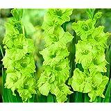 (10) Simply Beautiful Flowering Bulbs Gladiolus Green Star Bulbs, Plant, Start Gladioli (Tamaño: R-1341)