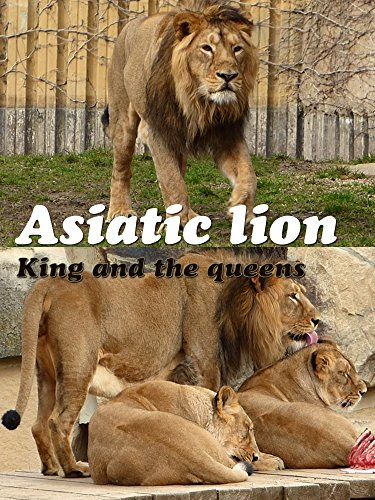 Asiatic lion. King and the queens