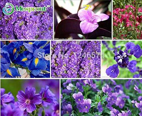 violet-seeds-african-violet-seeds-violet-seeds-garden-you-can-sow-the-seasons-indoor-and-outdoor-pla