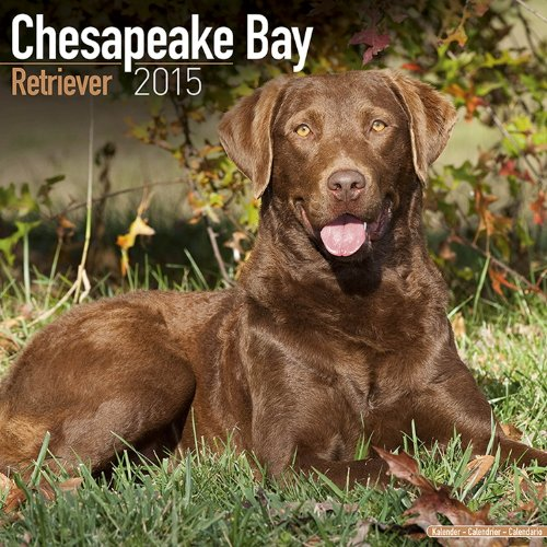 Chesapeake Bay Retriever Calendar - Just Chesapeake Bay Retriever Calendar - 2015 Wall calendars - Dog Calendars - Monthly Wall Calendar by Avonside