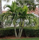 Christmas Palm Tree Adonidia Merilli 20 Seeds